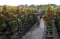 Magnolia-Trees-4