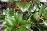 Magnolia-Trees-5