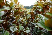 Magnolia-Trees-6