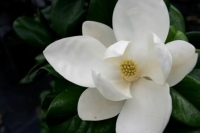 Magnolia-Trees-8