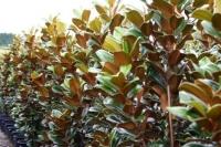 Magnolia-Trees-7