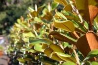 Magnolia-Trees-10