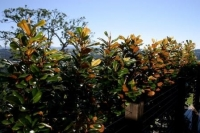 Magnolia-Trees-14