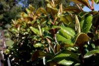 Magnolia-Trees-13