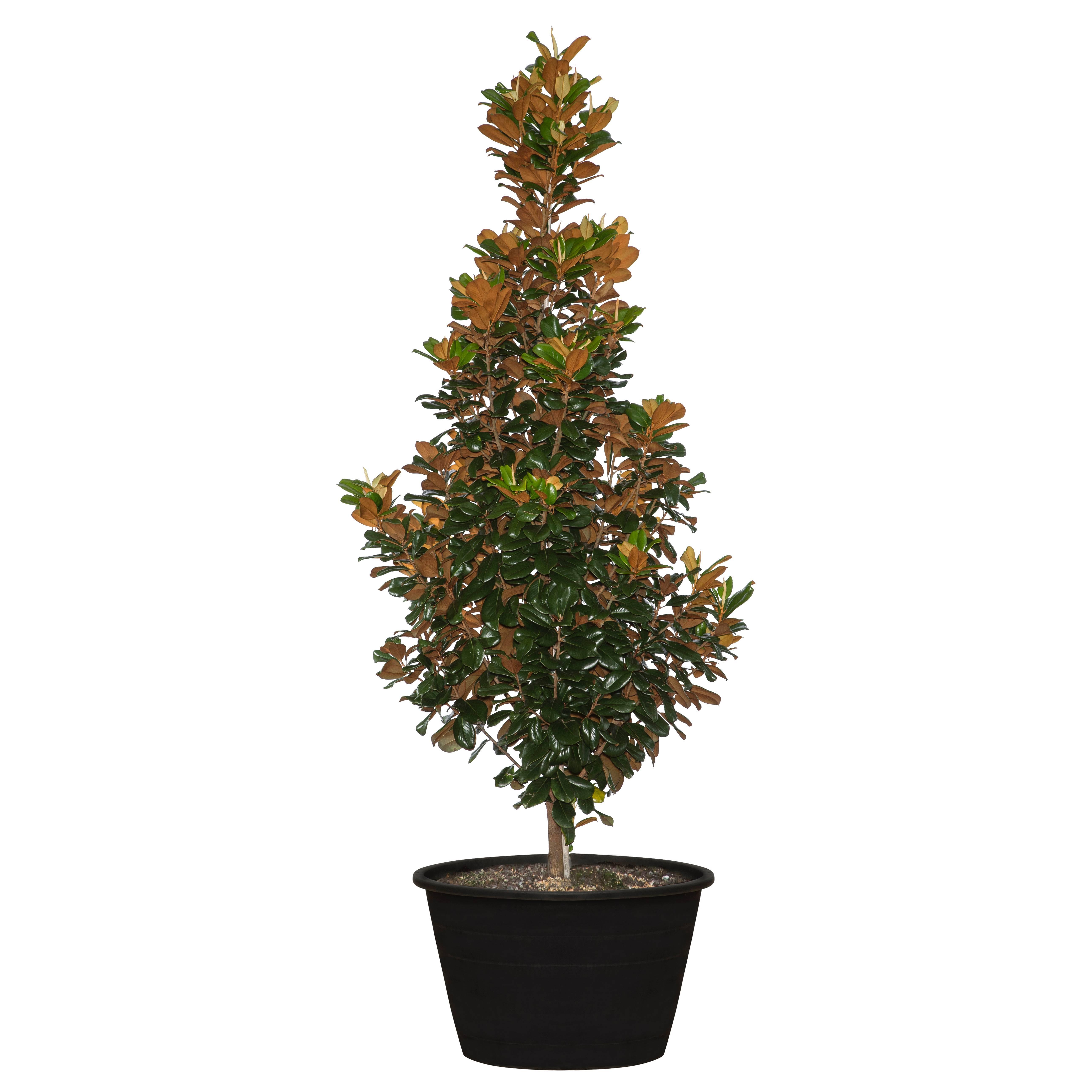 Magnolia Teddy Bear Trees 110 Litre Shop Online