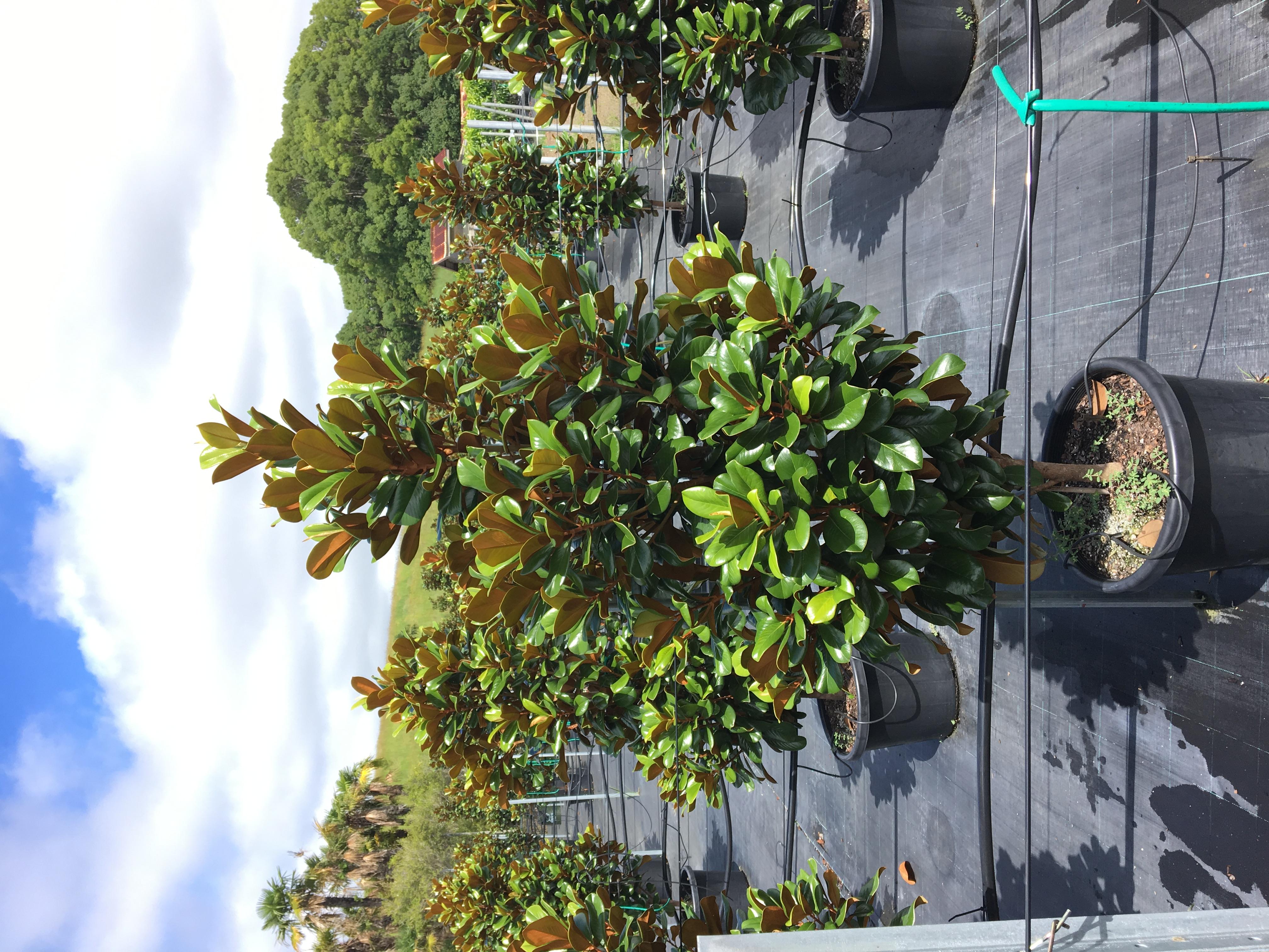 Magnolia Teddy Bear Trees 55 Litre Shop Online