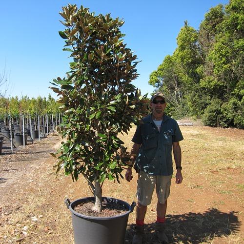 Magnolia Little Gem Trees 110 Litre Shop Online