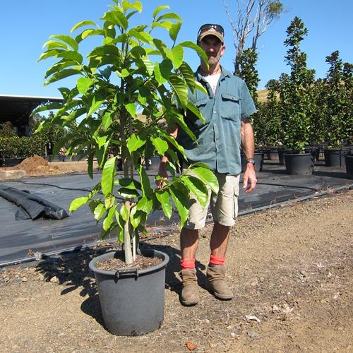 Magnolia Michelia Alba Trees 35 Litre Shop Online