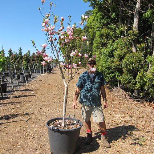 Magnolia Soulangeana Trees 110 Litre Shop Online