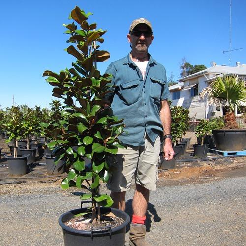 Magnolia Teddy Bear Trees 35 Litre Shop Online