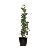 chinese-star-jasmine-200mm