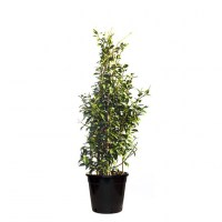 chinese-star-jasmine-300mm